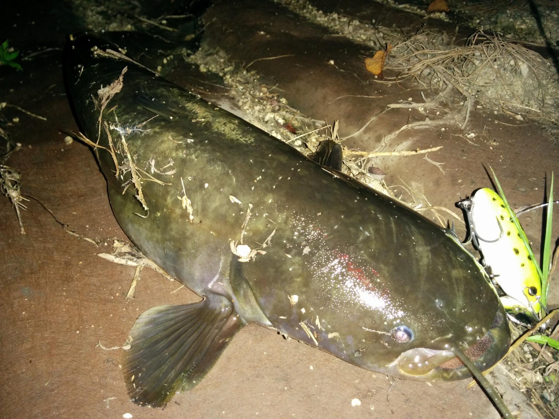 ナマズ釣りの時期について!釣り方やポイントもご紹介