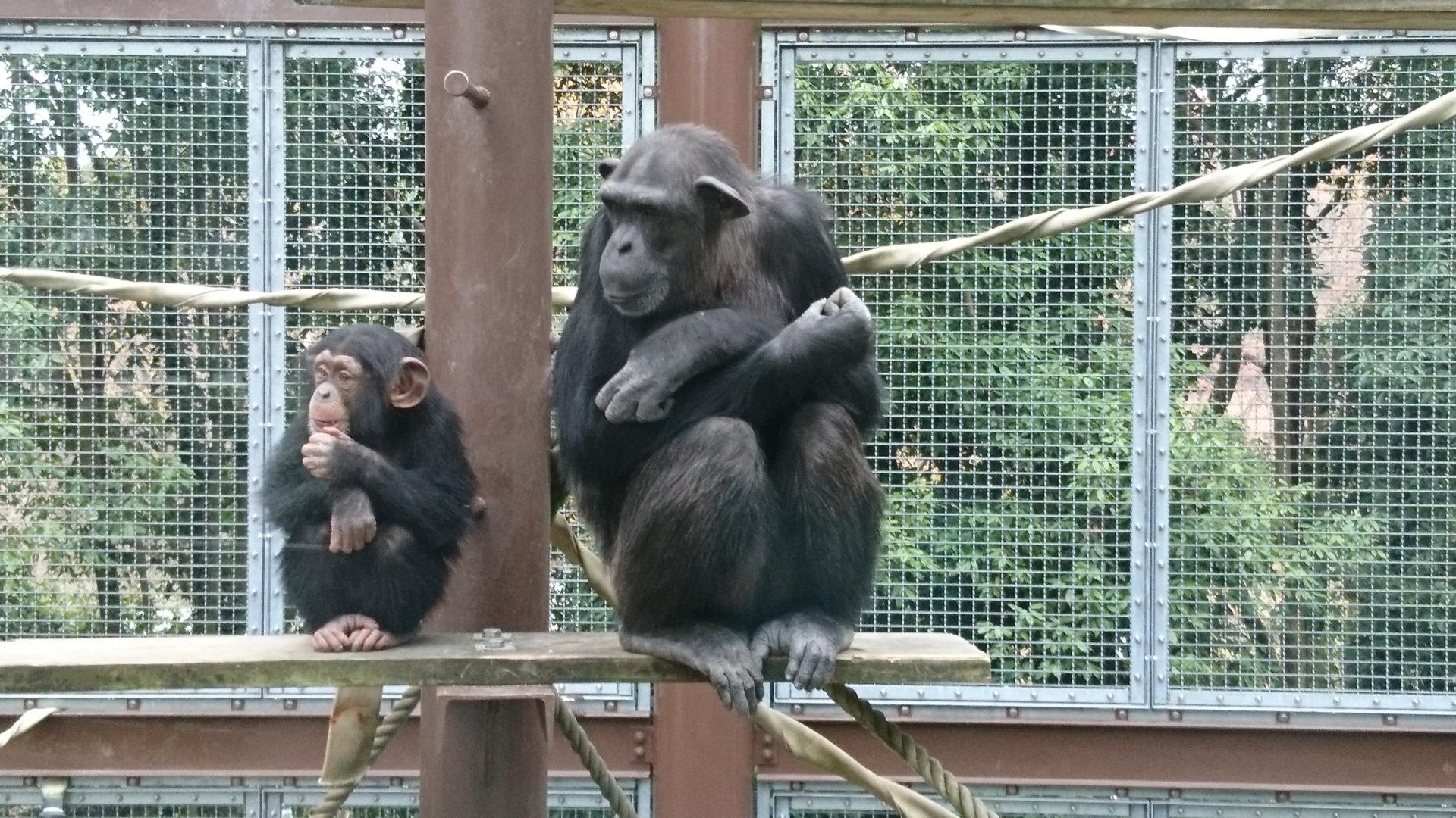 チンパンジーの知能レベルは人間でいうと何歳くらいなのかを調査
