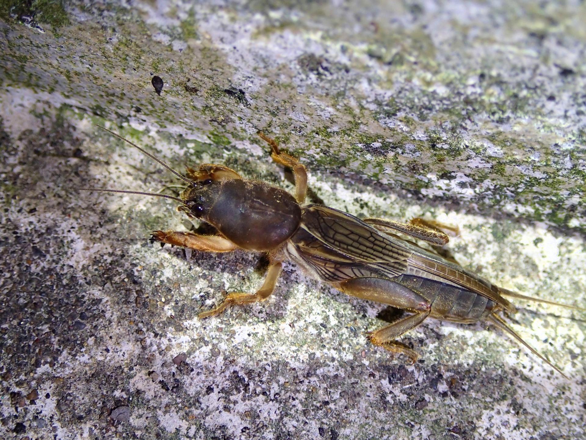 春先から聞こえる虫の鳴き声「ジー」と鳴く虫の正体とは!